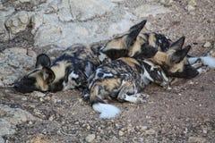 Perro salvaje africano Fotografía de archivo