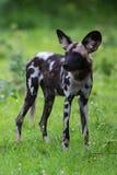 Perro salvaje africano Imágenes de archivo libres de regalías