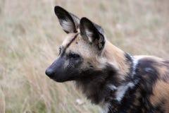 Perro salvaje africano Fotos de archivo