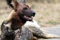 Perro salvaje africano Foto de archivo
