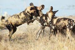 Perro salvaje africano Imagen de archivo libre de regalías