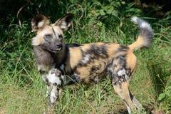 Perro salvaje africano en el delta de Okavango Foto de archivo libre de regalías