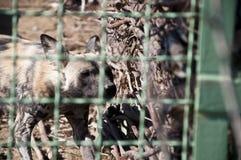 Perro salvaje africano en parque zoológico Fotografía de archivo