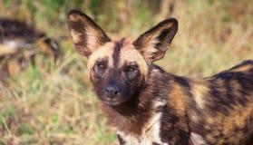 Perro salvaje africano (pictus de Lycaon) Imagen de archivo
