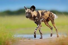 Perro salvaje africano que camina en el agua en el camino Búsqueda del perro pintado con los oídos grandes, animal salvaje hermos fotografía de archivo