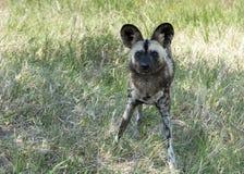 Perro salvaje africano que se coloca y que mira fijamente en parque salvaje del safari de la vida Fotografía de archivo