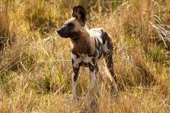 Perro salvaje - delta de Okavango - Moremi N P Fotografía de archivo