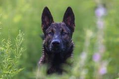 Perro salvaje mexicano Fotografía de archivo