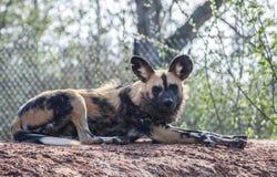 Perro salvaje pintado Foto de archivo libre de regalías