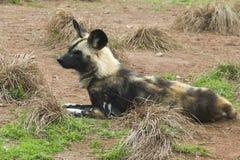 Perro salvaje pintado africano (pictus de Lycaon) Foto de archivo