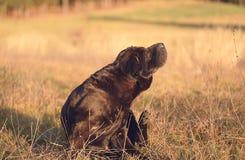 Perro shar viejo del pei que descansa en campo Imágenes de archivo libres de regalías