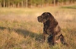 Perro shar viejo del pei que descansa en campo Foto de archivo
