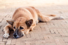 Perro sin hogar de la calle sola que espera alguien en el sendero Imagen de archivo