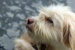 Perro sin hogar de Vietnam Fotos de archivo