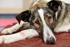 Perro sin hogar enfermo foto de archivo libre de regalías