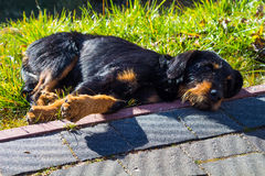 Perro sin hogar grande Fotografía de archivo