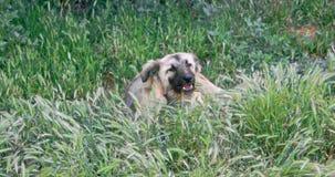 Perro sin hogar que come en hierba de la primavera metrajes
