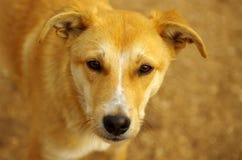 Perro sin hogar triste del tellow Imagen de archivo libre de regalías