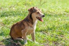 Perro sin hogar Un perro marrón lindo sin hogar camina en naturaleza Un perro r Imagen de archivo