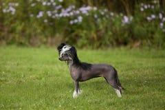 Perro sin pelo con cresta chino foto de archivo