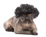 Perro sin pelo de la Mezclado-raza, mezcla entre un dogo francés y un perro con cresta chino, mentira, mirando la cámara foto de archivo