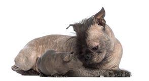 Perro sin pelo de la Mezclado-raza, mezcla entre un dogo francés y un perro con cresta chino, mintiendo con un conejillo de Indias Foto de archivo