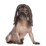 Perro sin pelo de la Mezclado-raza, mezcla entre un dogo francés y un perro con cresta chino, sentando y desgastando una peluca de Foto de archivo