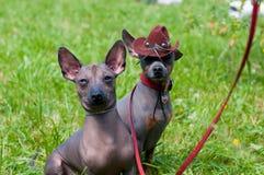 Perro sin pelo mexicano Imagen de archivo libre de regalías