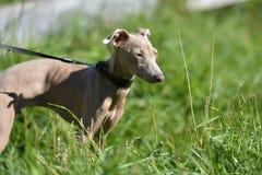 Perro sin pelo peruano imagenes de archivo