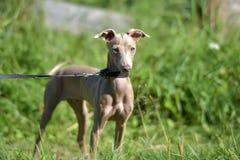 Perro sin pelo peruano del perrito fotografía de archivo