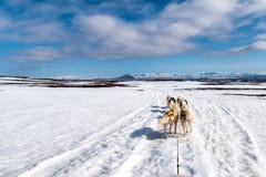 Perro sledding el funcionamiento fornido Fotos de archivo libres de regalías