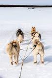 Perro sledding el funcionamiento fornido Fotografía de archivo libre de regalías