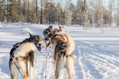 Perro sledding en Laponia Fotografía de archivo