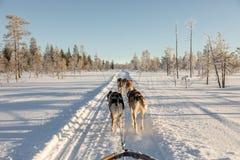 Perro sledding en Laponia Foto de archivo
