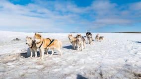 Perro sledding esperar fornido Fotos de archivo libres de regalías