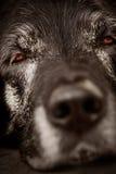 Perro soñoliento Imagen de archivo libre de regalías