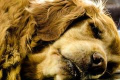 Perro soñoliento colocado fotografía de archivo libre de regalías