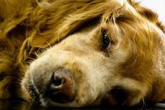 Perro soñoliento colocado fotos de archivo libres de regalías