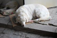 Perro soñoliento de la calle en las calles de Ohrid fotografía de archivo libre de regalías
