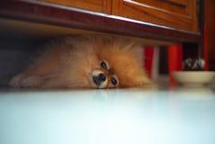 Perro soñoliento de Pomeranian del retrato que miente en el piso y que mira foto de archivo