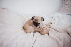 Perro soñoliento divertido del barro amasado con la goma en el sueño del ojo imagen de archivo libre de regalías