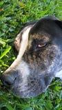 Perro soñoliento en hierba foto de archivo