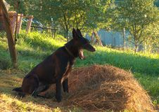 Perro soñoliento negro imagen de archivo libre de regalías