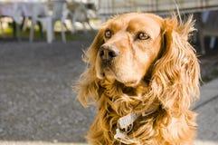 Perro solitario del cocker Foto de archivo