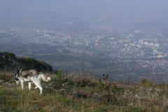 Perro solitario sobre Skopje Fotografía de archivo