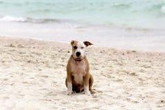 Perro solo en la playa Foto de archivo libre de regalías
