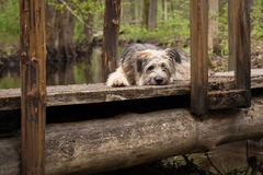 Perro solo que miente en el puente en el bosque Imagenes de archivo