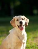 Perro sonriente Imagen de archivo