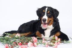 Perro sonriente Imágenes de archivo libres de regalías