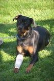 Perro sonriente con la pierna vendada Imagenes de archivo